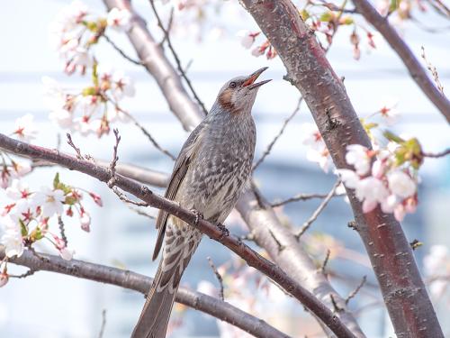 札幌市 桜 ヒヨドリ