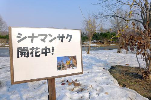 シナマンサク 百合が原公園