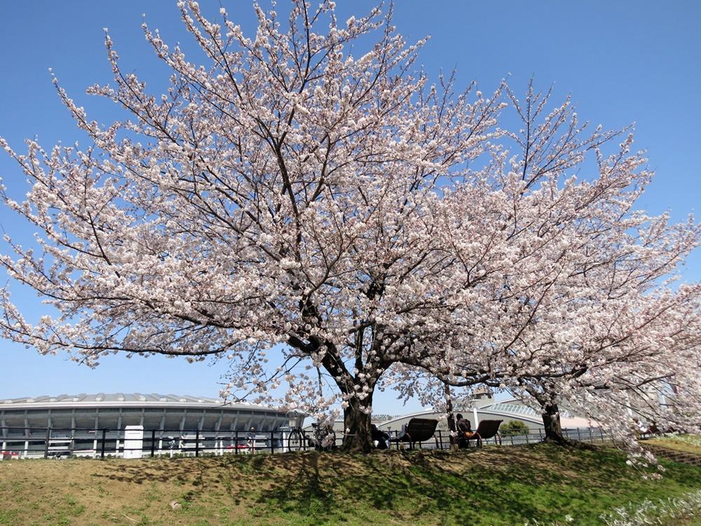 150330桜-01