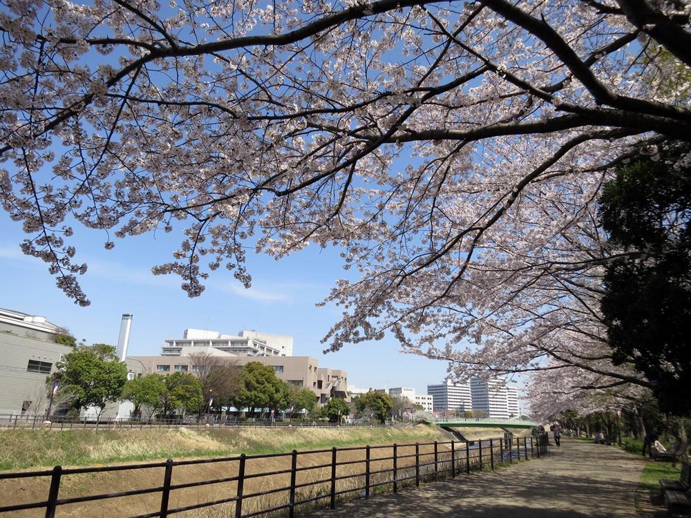 150330桜-03