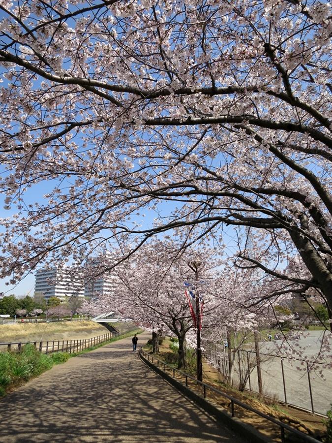 150330桜-04