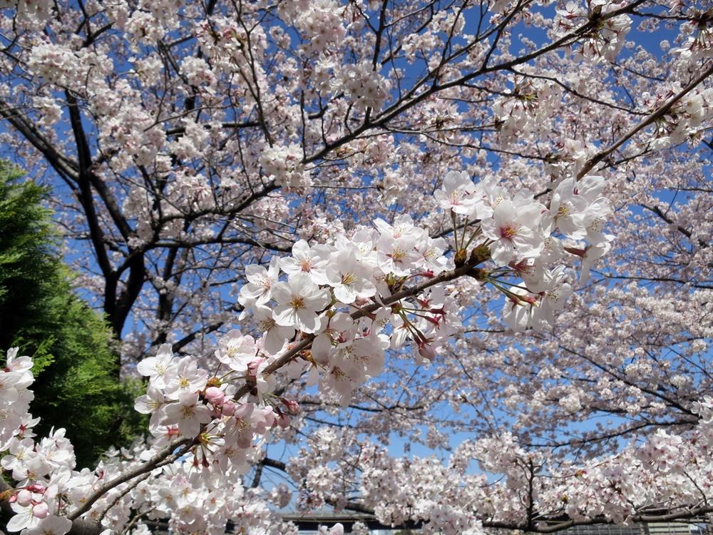 150330桜-06
