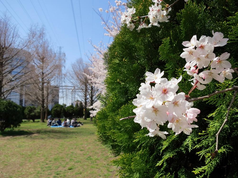 150330桜-07