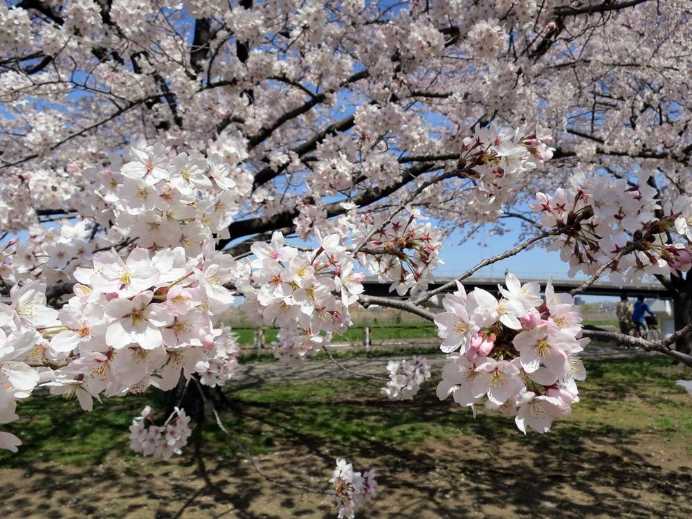 150330桜-08
