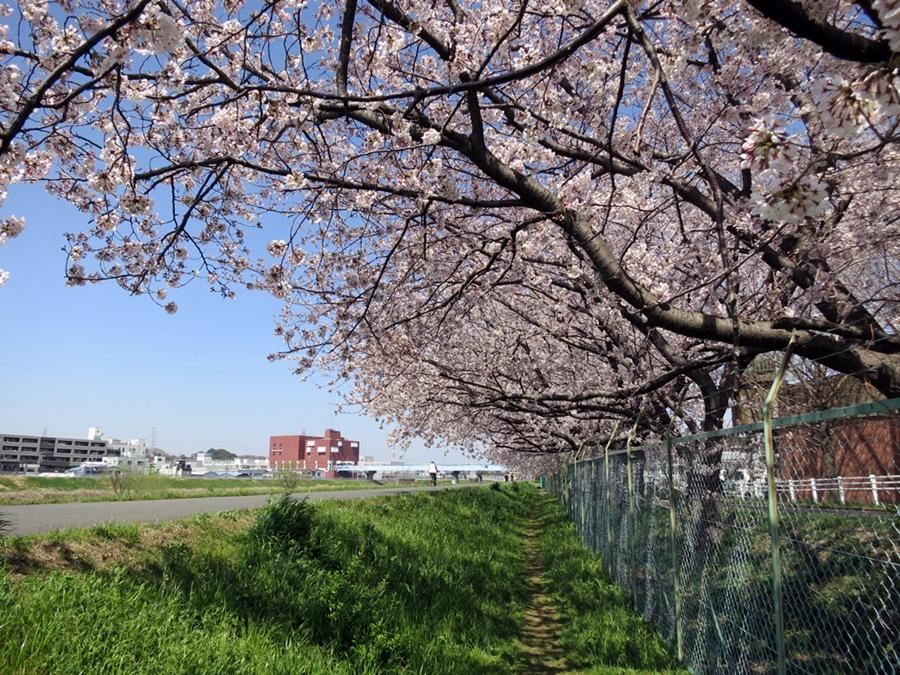 150330桜-09