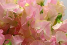 光と愛の感謝日記 ピンクのスイートピー・フラワーヒーリング♪