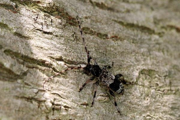 ヒトオビアラゲカミキリbv