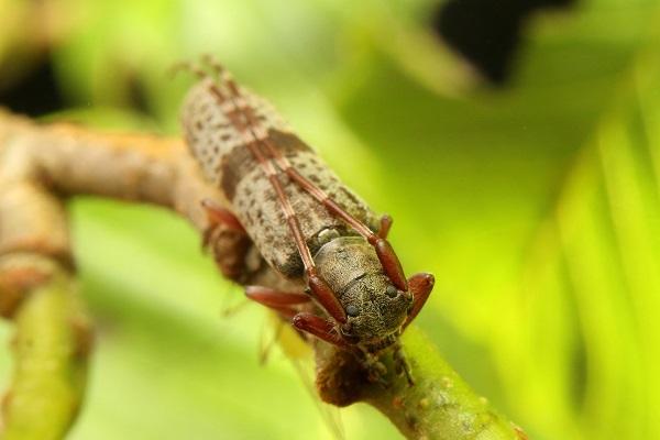 シナノクロフカミキリ (2)bv