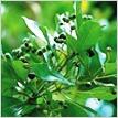 オールスパイス 植物
