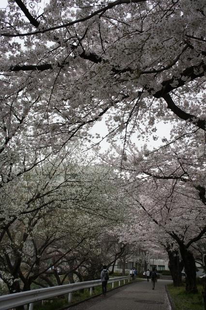 KMB 桜並木