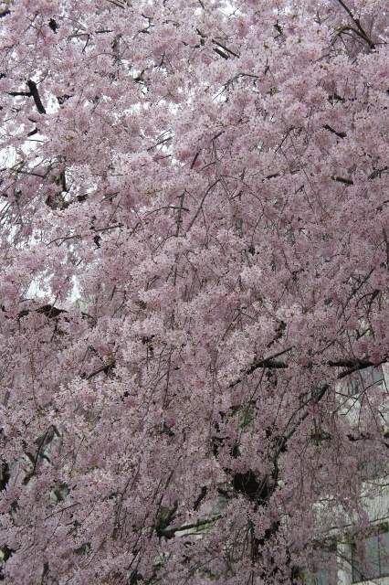 KMB 枝垂桜 ②