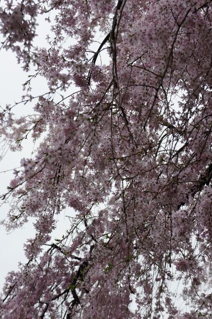 KMB 枝垂桜 ⑦