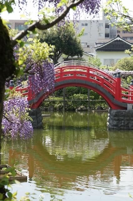 亀戸天神 赤い橋と藤