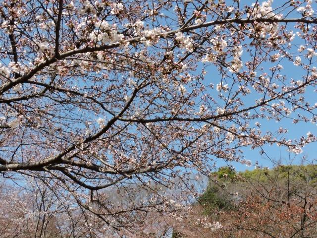 桜2015-03-28 003 (640x480)