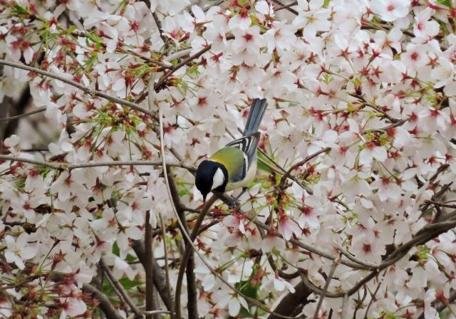 シジュウカラ2015-04-04 075 (640x448)