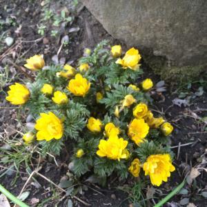 鮮やかな黄色の福寿草