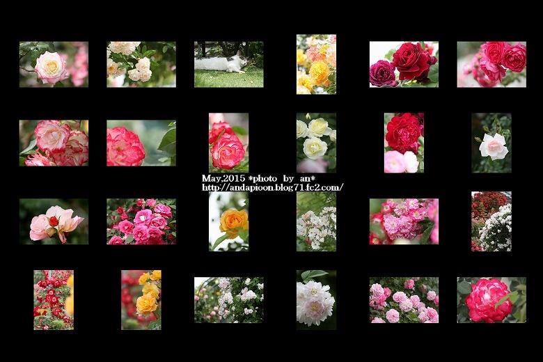 薔薇5・11