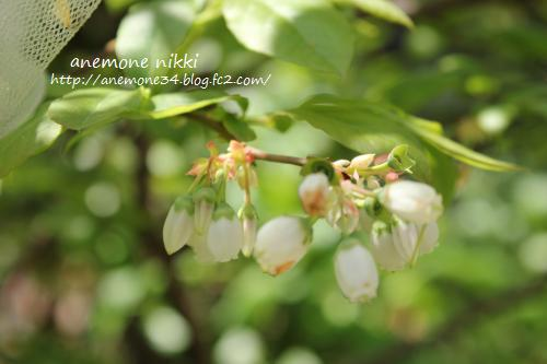 2015ブルーベリーお花
