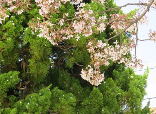 sakura flower040615 (6)