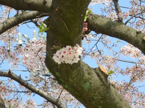 sakura flower040615 (7)