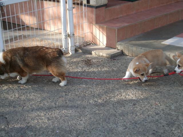 お客さん犬と散歩