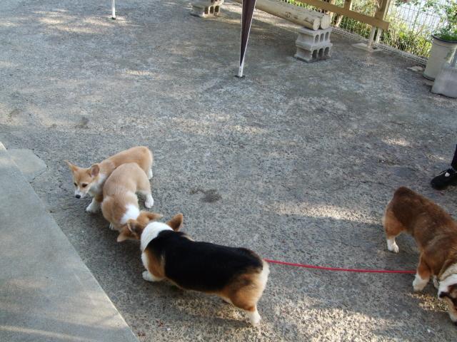 お客さん犬と散歩3