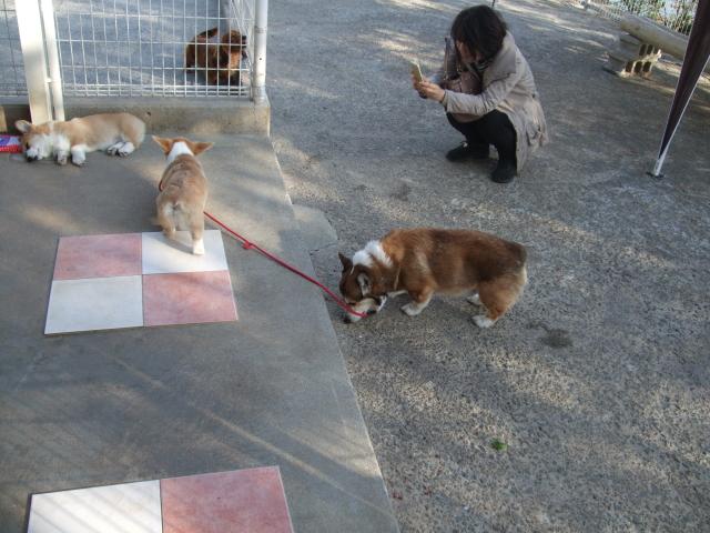 お客さん犬と散歩2