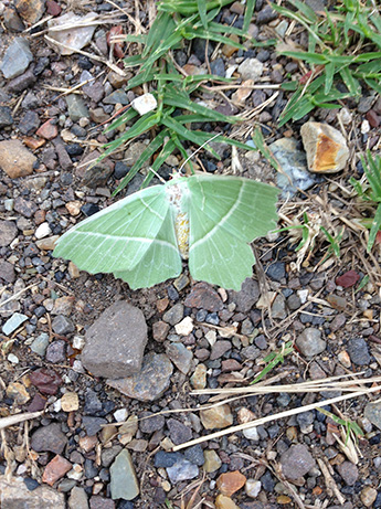 2015 6 16 緑の蛾