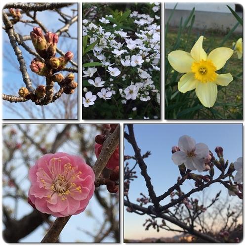 春の花2015-3