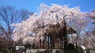 まずは枝垂桜