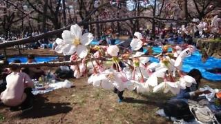 ほーらきれいな桜だこと