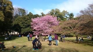 種類の違う桜で、みんな写真撮りまくってた