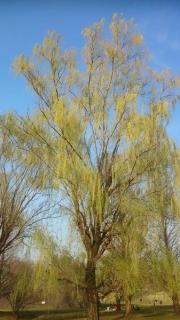 柳の芽だしもきれいだよね