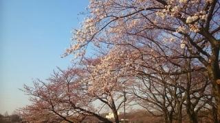周りが全部桜
