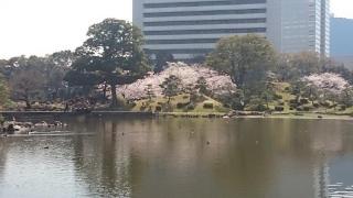 芝離宮です。奥のほうに桜が見えています。