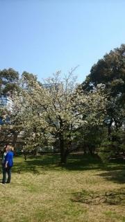 これは大島桜ですな。盛りは過ぎた様子。