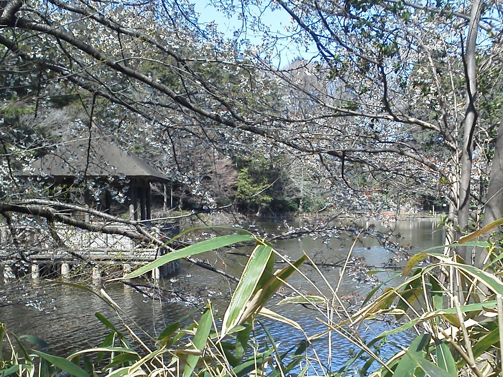 F1000690石神井公園コブシと浮御堂