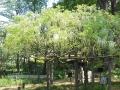 F1000853赤塚植物園シラフジ