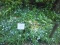 F1000856赤塚植物園ハナニラ