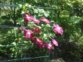 F1000861赤塚植物園クレマチス