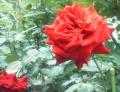 F1000995赤塚植物園バラ