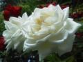 F1000996赤塚植物園バラ