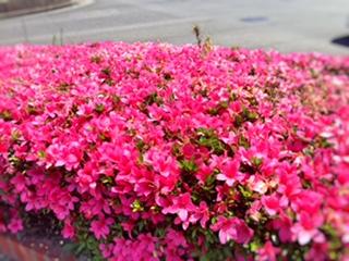歩道の花IMG_0320 (1)