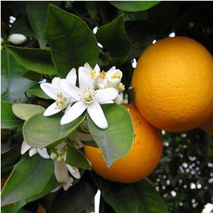 150110オレンジの花