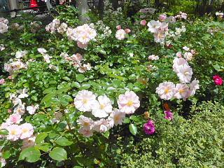 中庭薔薇1