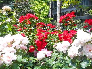 中庭薔薇3