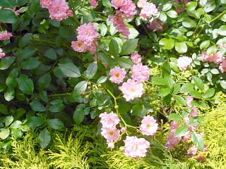 中庭薔薇4