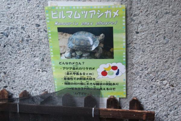 アジアのゾウガメ