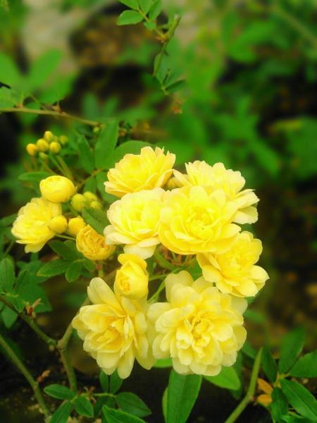 黄モッコウバラ八重