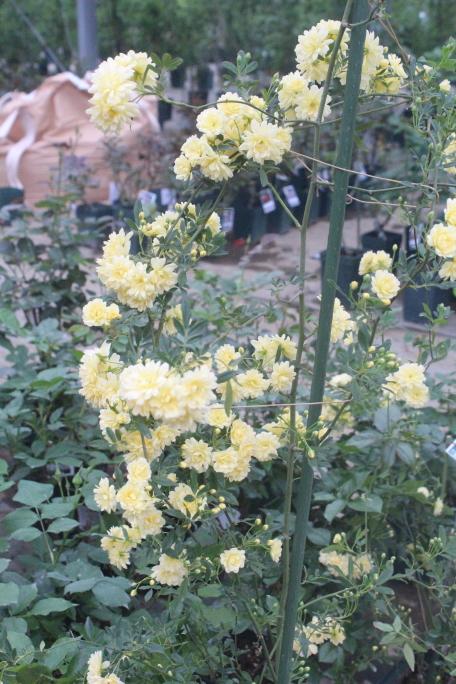 黄モッコウバラ 八重 4月